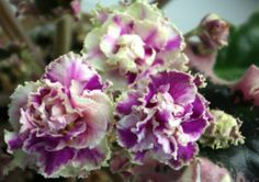 African Violet Plant Wrangler's Gaudy Lady