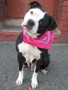 TO BE DESTROYED 3/29/14 Brooklyn Center -P  My name is SASSY. My Animal ID # is A0994488. I am a female black and white pit bull. The shelter thinks I am about 2 YEARS   I came in the shelter as a STRAY on 03/21/2014 from NY 11233, owner surrender reason stated was STRAY. I came in with Group/Litter #K14-171372. https://www.facebook.com/photo.php?fbid=776420972370784&set=a.611290788883804.1073741851.152876678058553&type=3&theater