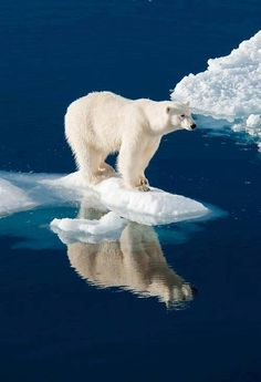 Ideas photography nature animals polar bears for 2019 Nature Animals, Animals And Pets, Baby Animals, Cute Animals, Baby Giraffes, Wild Animals Pictures, Animal Pictures, Nature Pictures, Bear Pictures