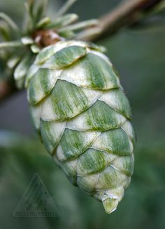 Tsuga canadensis 'Albospica' not only has colorfully variegated foliage, but the cones are colorful too!