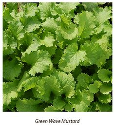 Heat Tolerant Greens: Varieties for the Hottest Summer Months | The Seed Hopper Blog from High Mowing Organic Seeds