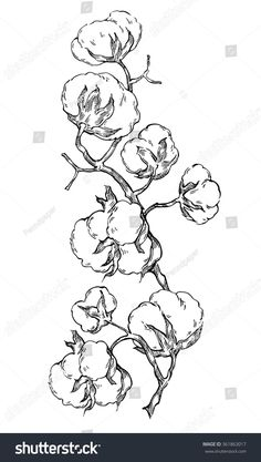 Hand made vector sketch of cotton plants. Cracked bolls on a cotton plant. Vector elements for your design. Plant Illustration, Botanical Illustration, Plant Sketches, Cotton Painting, Cotton Plant, Plant Drawing, Plant Art, Botanical Drawings, Pictures To Paint