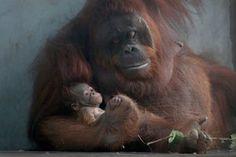 Shanghai, ChinaOrangutan Fei Fei holds a male cub in her arms at Shanghai Zoo. Fei Fei gave birth to a male cub after the first successful reproduction of Orangutan at Shanghai Zoo