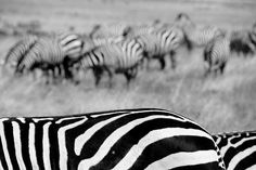 zebra-ngorongoro-Tanzania by marjanvanthielen, via Flickr. Beautiful post production work