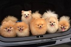 For Everyone Who Absolutely Adores Pomeranians