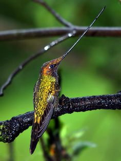 Sword-billed Hummingbird (Ensifera ensifera) is a species of hummingbird from South America and the sole member of the genus Ensifera. It is found in the higher elevations (mostly above 2500 meters) in Bolivia, Colombia, Ecuador, Peru and Venezuela.