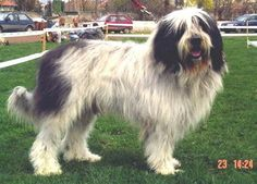 Side view - A long-coated, shaggy, white with black Mioritic dog is standing in grass at a dog show with a wooden fence with people on chairs behind it. The dog is looking forward with its mouth is open and tongue slightly out. Dog Lover Gifts, Dog Lovers, Komondor, Havanese, Dog Show, Mountain Dogs, Dogs Of The World, Big Dogs, Shepherd Dog