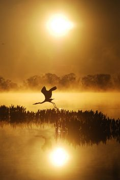 graceful flyer:  wading bird comes in for a landing against buff sunset