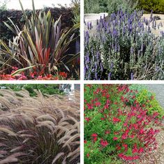 Spanish lavender 39 little bee 39 lavandula stoechas my for Low water landscaping plants