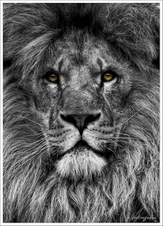 Tattoo lion sleeve big cats 36 ideas for 2019 Lion Sleeve, Lion Tattoo Sleeves, Lion Images, Lion Pictures, Lion Shoulder Tattoo, Lion Head Tattoos, Lion Photography, Lion Tattoo Design, Lion Painting