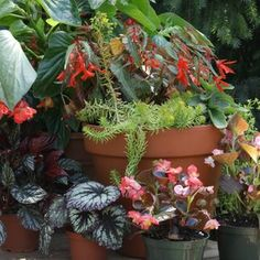 Begonia Care Tips and Varieties You Should Try Best Perennials, Hardy Perennials, Flowers Perennials, Shade Flowers, Dried Flowers, Yellow Flowers, Shade Plants, Cottage Garden Plants, Bog Garden