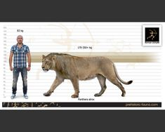 American Lion, Lion Pictures, Extinct Animals, Prehistoric Creatures, Fauna, Big Cats, Archaeology, Mammals, Lions