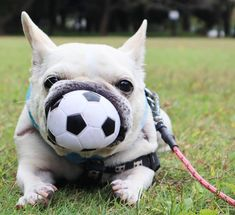 🐶 Are you one of the pug lovers or french bulldog lovers? 🐶 Are you one of the pug lovers or french bulldog lovers? 🐶 If you do, then our online store is for you. 👍 SHOP NOW 👉 Cute Baby Animals, Animals And Pets, Funny Animals, Cute French Bulldog, French Bulldog Puppies, Funny French Bulldogs, Frenchie Puppies, English Bulldogs, French Bulldog Pictures