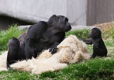 Six-Month-Old Baby Gorilla Makes Public Debut At San Francisco Zoo