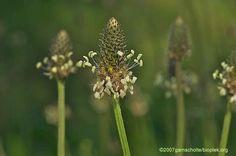 Plantago lanceolata smalle weegbree