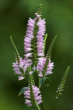 Physostegia virginiana - Known as the obedient plant!  Missouri native - Blooms June to September - Full sun perennial - Opposite, pinkish flowers in a spike-like cluster along upper part of a square stem.  Dense spikes of pinkish, tubular, two-lipped, snapdragon-like flowers.  Individual flowers will temporarily remain in a new position.