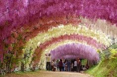 Tunnel of Wisteria blossoms - Kawachi Fuji Gardens, Fukuoka Wisteria Tunnel, Wisteria Garden, Wisteria Japan, Oh The Places You'll Go, Places To Visit, Beautiful Flowers, Beautiful Places, Secret Hideaway, Japanese Landscape