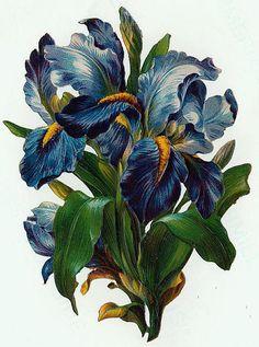 blue-purple irises