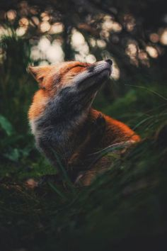 lsleofskye:Happy fox fella  | kpunkka