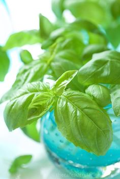 How to Propagate Basil from Cuttings is a complete guide to stretching your herb budget this spring, or anytime!