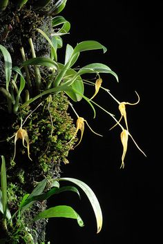 Bulbophyllum ankylochele | Flickr - Photo Sharing!