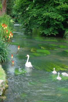 Swan Lake Family with wildflowers, stream of living waters. Beautiful Swan, Beautiful Birds, Beautiful World, Beautiful Places, Beautiful Pictures, Swan Lake, Amazing Nature, Beautiful Creatures, Pet Birds
