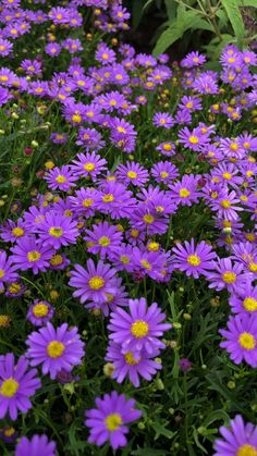 Delight Dark Mauve Brachyscome x multifida Delight Dark Mauve Brachyscome x multifida Volmary Blumen Gem sepflanzen Obst 038 Kr uter growforgold Volmary Blumengarten Blumen pflanzen nbsp hellip videos garten Flowers Nature, Exotic Flowers, Amazing Flowers, Purple Flowers, Beautiful Flowers, Preannual Flowers, Forest Flowers, Little Flowers, Landscaping Plants