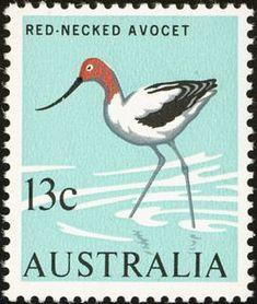 Red-necked Avocet (Recurvirostra novaehollandiae)