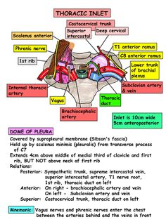 Instant Anatomy - Thorax - Areas/Organs - Thoracic inlet - Relations