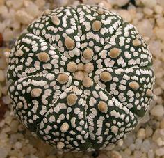 Astrophytum asterias 'Super Kabuto' by petrichor, via Flickr