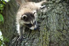 A cute and curious baby raccoon.