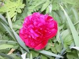 Peonies - Old Fashioned, Fragrant Perennials: Double Peony
