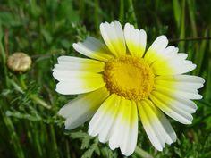 fleurs comestibles alsagarden (4)