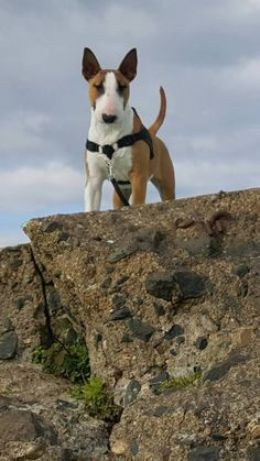 English Bull Terriers, Bull Terrier Dog, Boston Terrier, Pitbull Facts, Bully Dog, Group Of Dogs, Dog Games, Beautiful Dogs, Dog Love