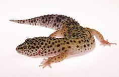 Eublepharis macularius ♂ Leopard Gecko