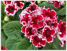 Gloxínia, Cachimbo, Siníngia – Sinningia speciosa   O nome comum tem persistido desde a sua introdução original para o cultivo no Brasil em 1817 como Gloxinia speciosa .  A gloxínia é uma planta interessante. Suas folhas são grandes e arredondadas, suculentas e aveludadas e caem no outono e inverno.   As flores são grandes e podem ser simples ou dobradas, de diversas cores e mesclas, e muitas vezes pintalgadas.   É uma ótima planta para cultivar em jardineiras e vasos, sendo bastante comum a…