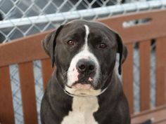 """SIENNA - A1060883. A volunteer writes: Sienna is big, beautiful, and bursting at the seams with sweetness! She seems housebroken, pulls some on leash, likes to play with toys, and will """"sit"""" for treats. She has occasional bouts of being bashful; when I tethered her for photos she got very camera shy and lay down with her head flat against the ground, &on one walk when we approached a tree with some clothing hanging from it she kept her distance and looked up at me as if to say """"I think we'd…"""