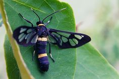 clearwing moths