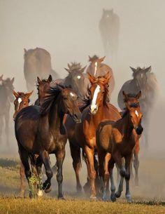 Herd of Mustangs