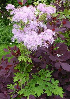 Cotinus coggygria 'Royal Purple' and Thalictrum