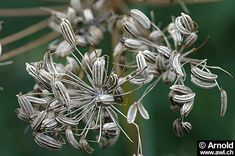 Foeniculum vulgare - Fenchel - Früchte