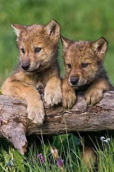 """beautiful-wildlife: """"Wolf Pups Looking For Mom by Mike Dodak """" Wolf Photos, Wolf Pictures, Animal Pictures, Beautiful Wolves, Animals Beautiful, Tier Wolf, Talking Animals, Wolf Love, Wild Dogs"""