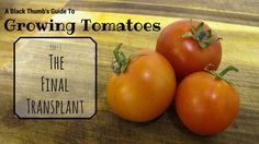 The final post in my 3 part series on growing tomatoes - The Final Transplant Growing Tomatoes From Seed, Planting Seeds, Vegetables, Plants, Life, Food, Vegetable Recipes, Eten, Veggie Food