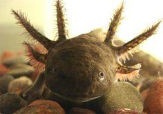 El axolote es un anfibio endémico de México en peligro de extinción.