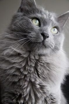 nebelung cat - Google Search
