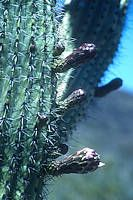 Stenocereus thurberi Woodpecker Feeder, Cactus Names, Barrel Cactus, Planting Succulents, Yellow Flowers, Habitats