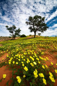 Thousands of tribulus flowers make up a carpet of yellow and green on the rolling dunes of the Kalahari Desert. Kgalagadi Transfrontier Park, Botswana / South Africa
