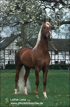 American Saddlebred Holland's Golden Boy