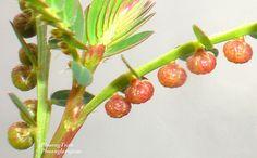 Vietnamese named :Chó đẻ trái đỏ, Chó đẻ thân đỏ; Cam kiểm; Diệp hạ châu  English names : Chamber bitter, Chanca piedra, Shatterstone,Stone breaker  SCientist name : Phyllanthus urinaria L.  Synonyms : Diasperus urinaria (Linnaeus) Kuntze; Phyllanthus a Tuyen tap truyen sex hay nhat : http://www.truyennguoilonvl.com/search/label/Truyen-Loan-Luan