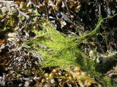 seaweed connemara